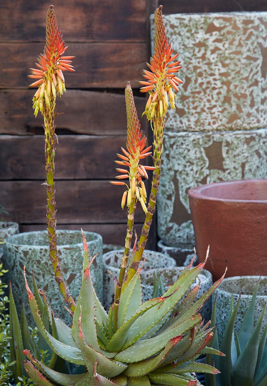 Flora Grubb Gardens Aloe Gariepensis.png
