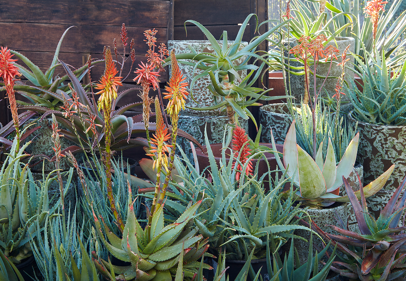 Flora Grubb Gardens Aloes are Magic.png