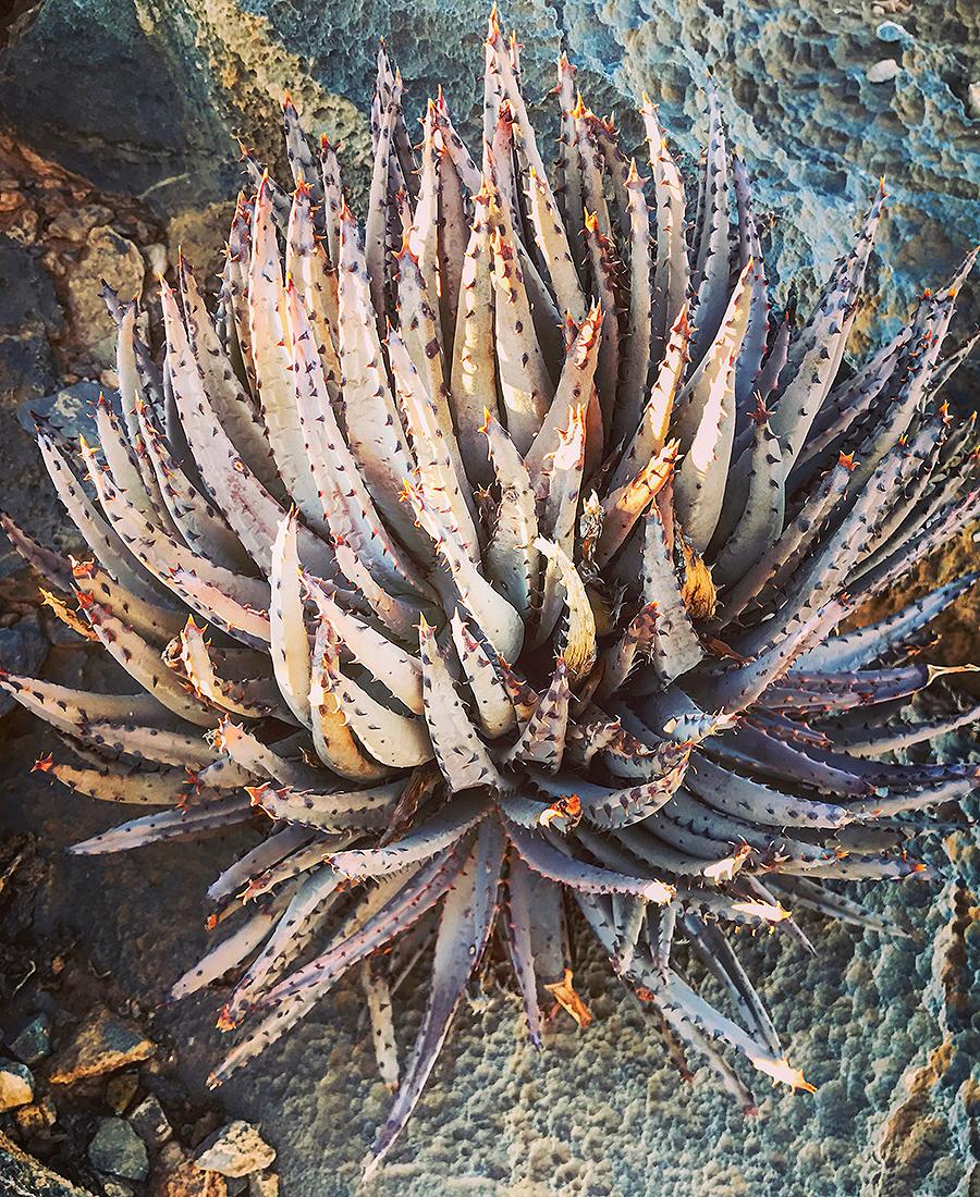 Flora Grubb Gardens - Tyson Curtis Aloe Manifesto - Aloe Erinacea.png