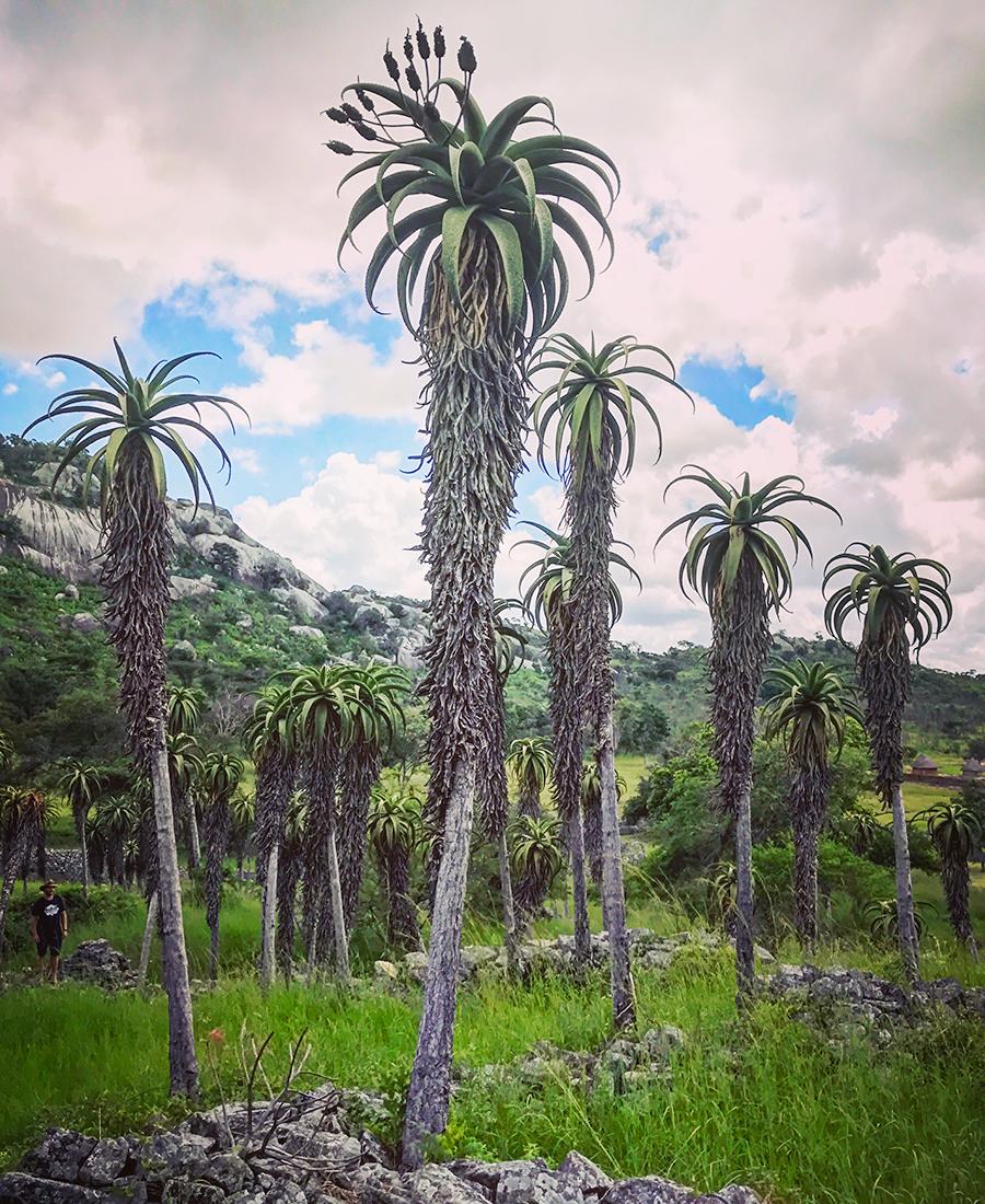 Flora Grubb Gardens - Tyson Curtis Aloe Manifesto - Aloe Excelsa.png
