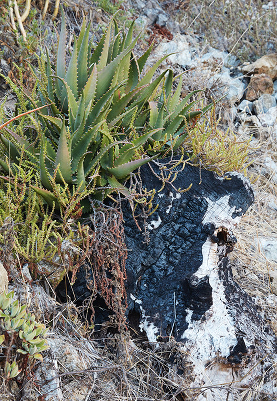 Flora Grubb Gardens - Tyson Curtis Aloe Manifesto - Aloe Sps Recovered and Growning on Burned Stumps in Basin Fire.png