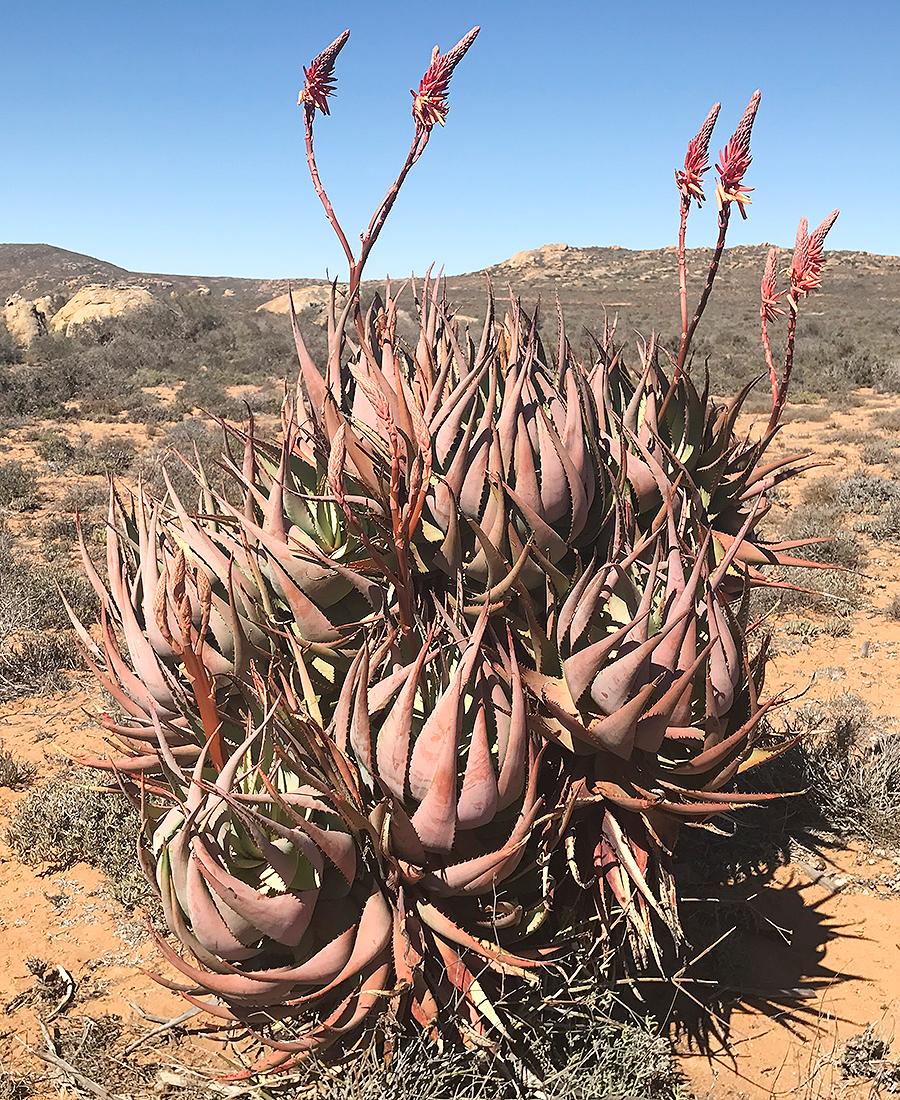 Flora Grubb Gardens - Tyson Curtis Aloe Manifesto - Aloe Kamiesensis.png