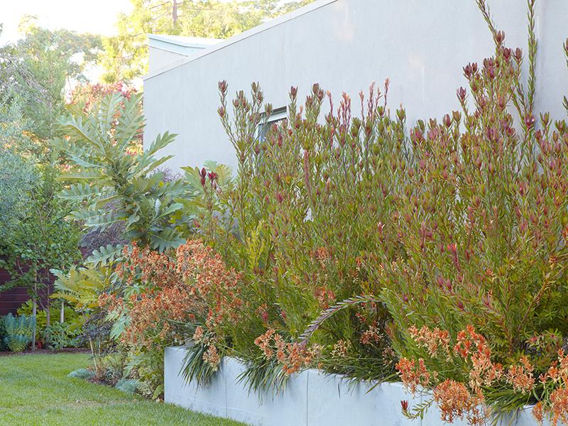 Flora Grubb Gardens Daniel Nolan Leucadendron and Kangaroo Paw Garden.png