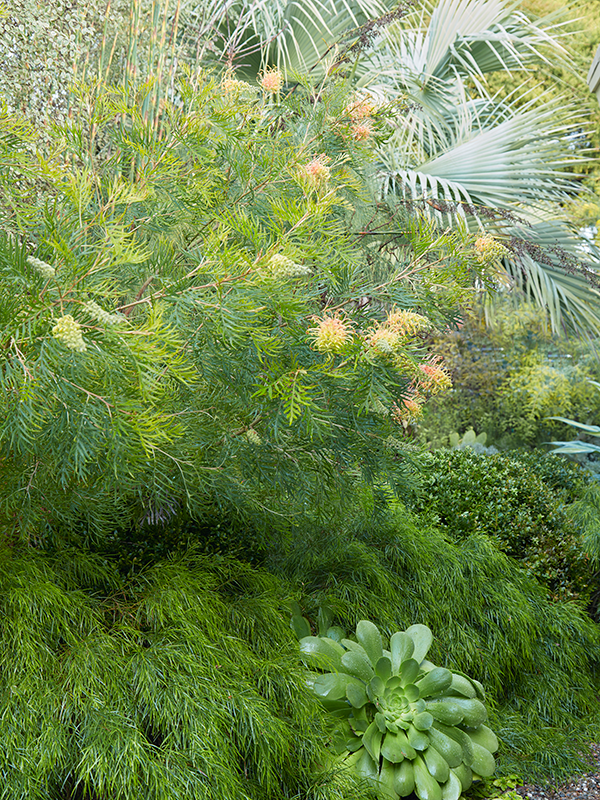 Flora Grubb Gardens Grevillea Cutting Garden Low Water.png