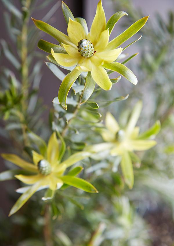 Flora Grubb Gardens Closeup Leucadendron.png