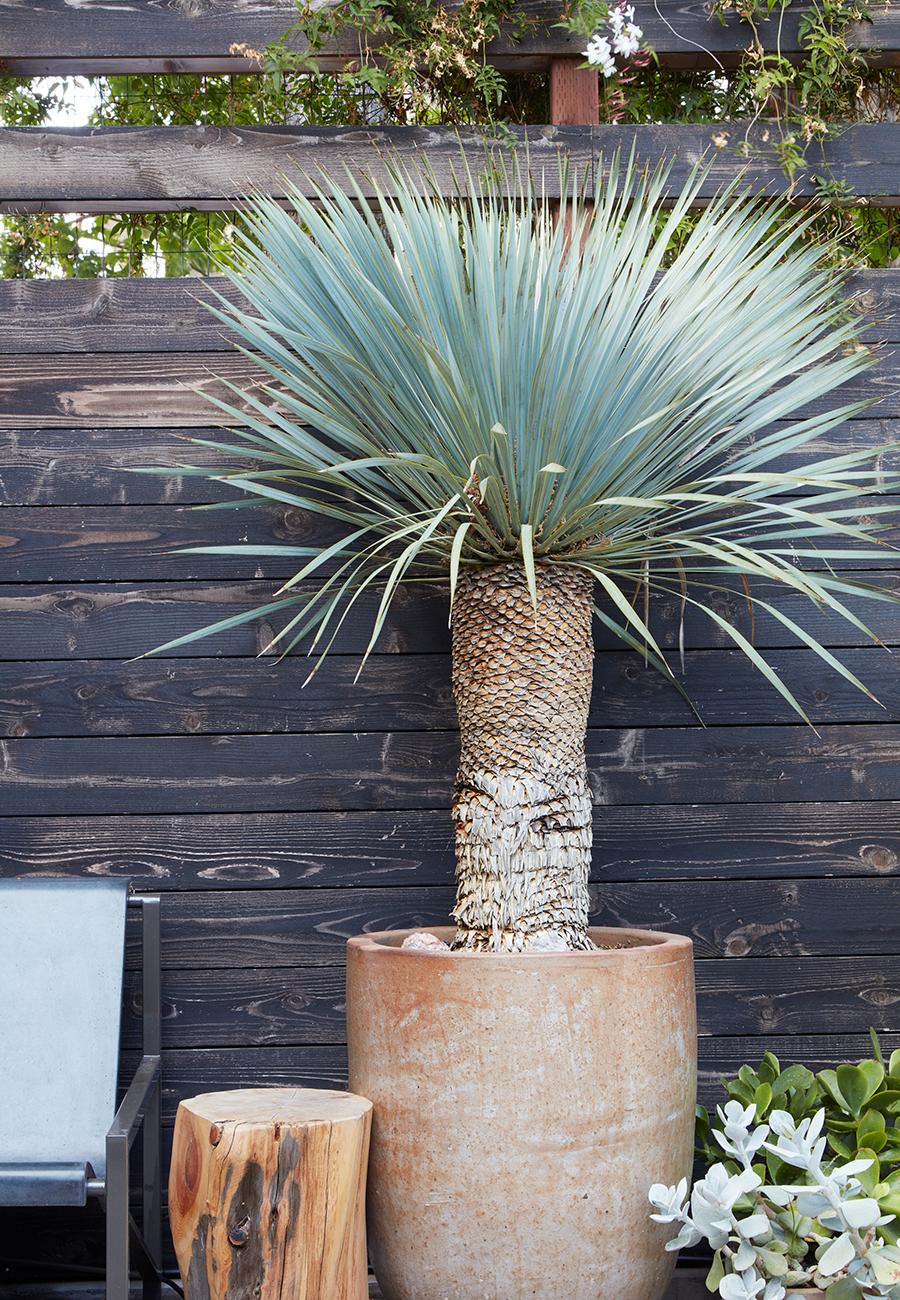Yucca Rostrata in Modern Rustic Ceramic Pot from Flora Grubb Gardens in Garden by Daniel Nolan.png