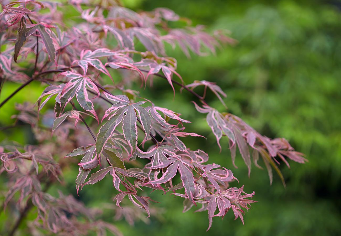 Flora Grubb Gardens Japanese Maple.png