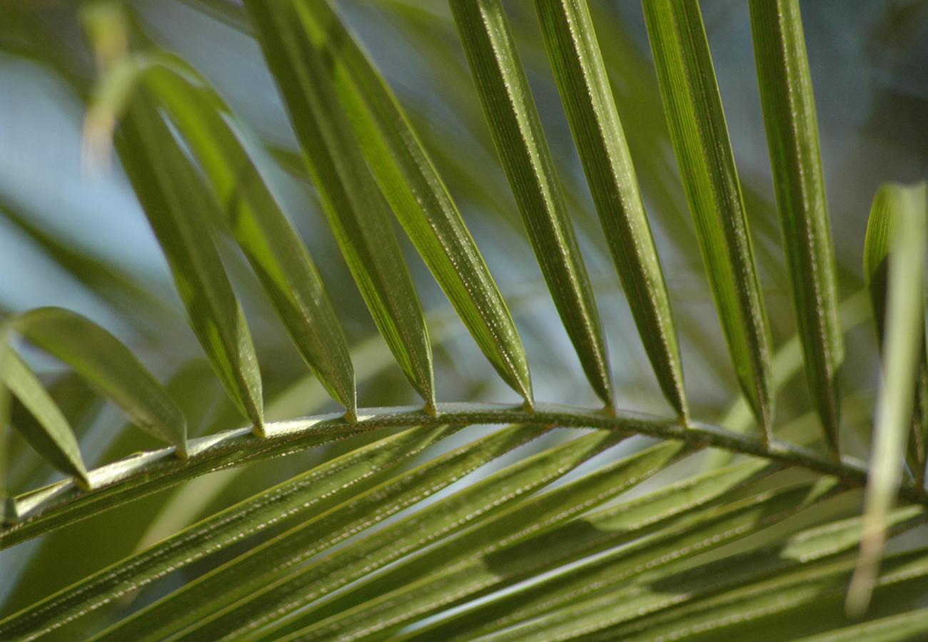 Flora Grubb Gardens Miniature Date Palm.png