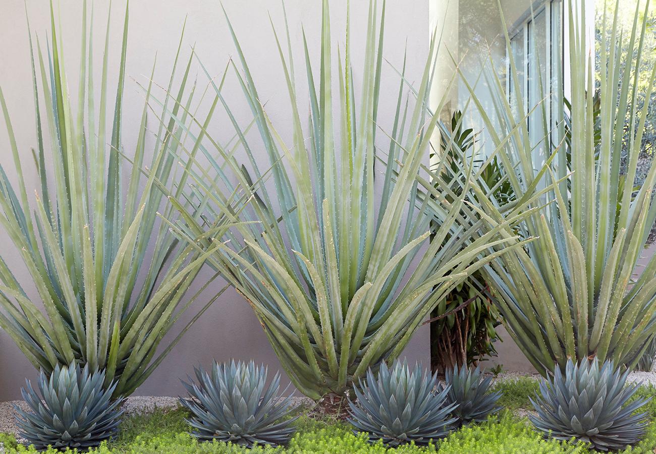Flora Grubb Gardens - Steal This Look - Modern Entry Garden - Century Plant.png