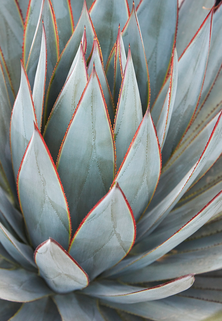 Flora Grubb Gardens - Steal This Look - Modern Entry Garden - Blue Glow Agave.png