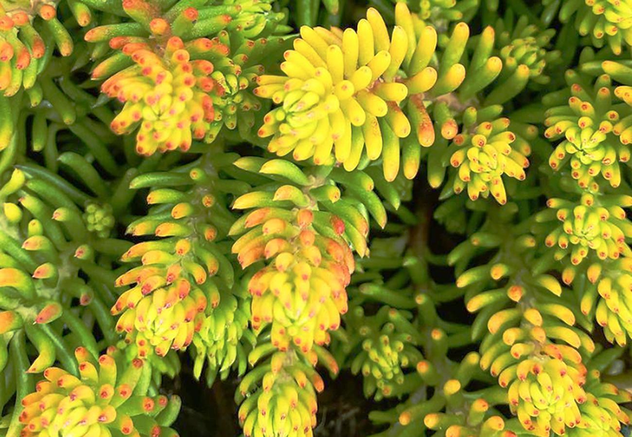 Flora Grubb Gardens - Steal This Look - Sedum rupestre.png
