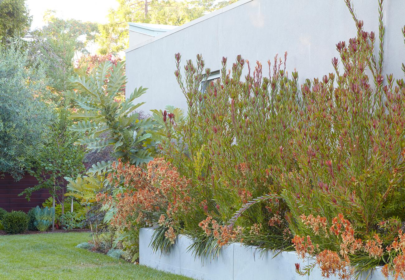 Proteaceous plants love San Francisco's mild coastal temperatures and sandy soil.