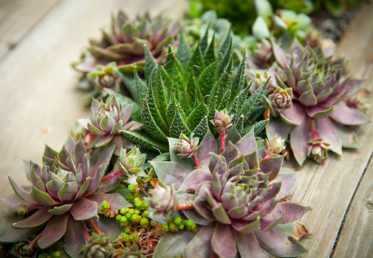Haworthias and sempervivums grow wild in very different regions of the globe, but we bring them together here in our Bay Area gardens!