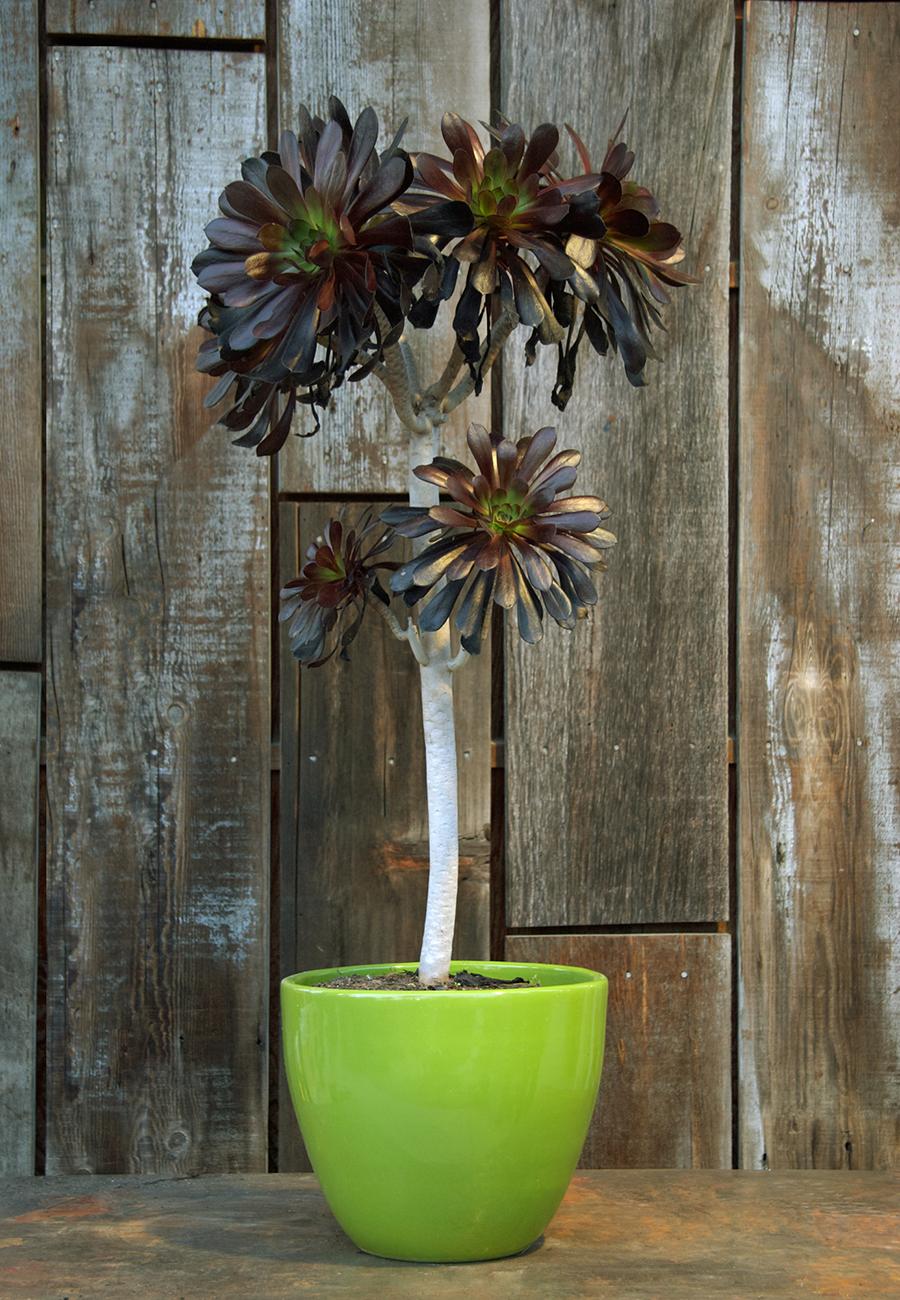 Aeonium arboreum atropurpurea