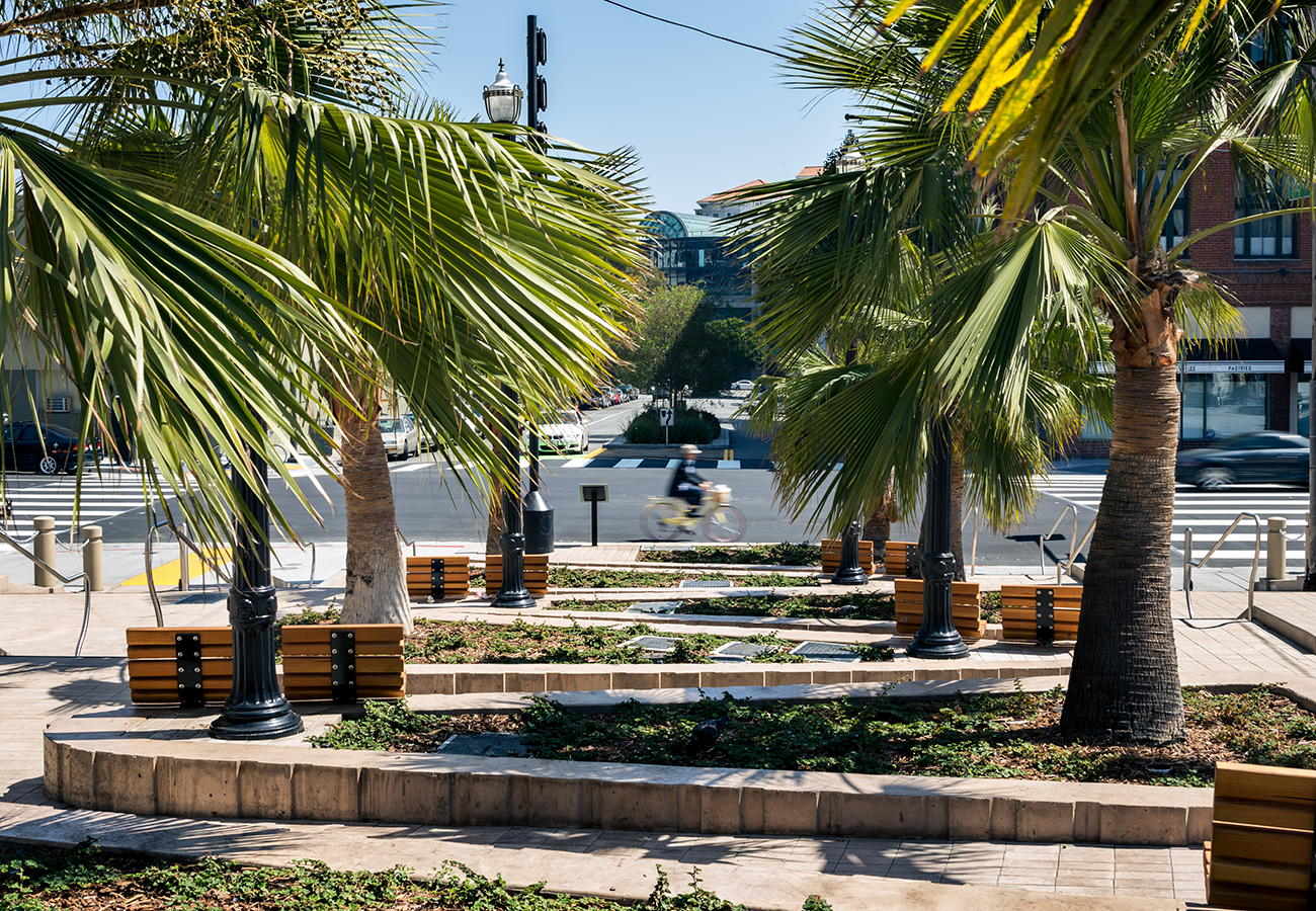 Guadalupe palms growing in the McCoppin Hub parklet in the Mission District