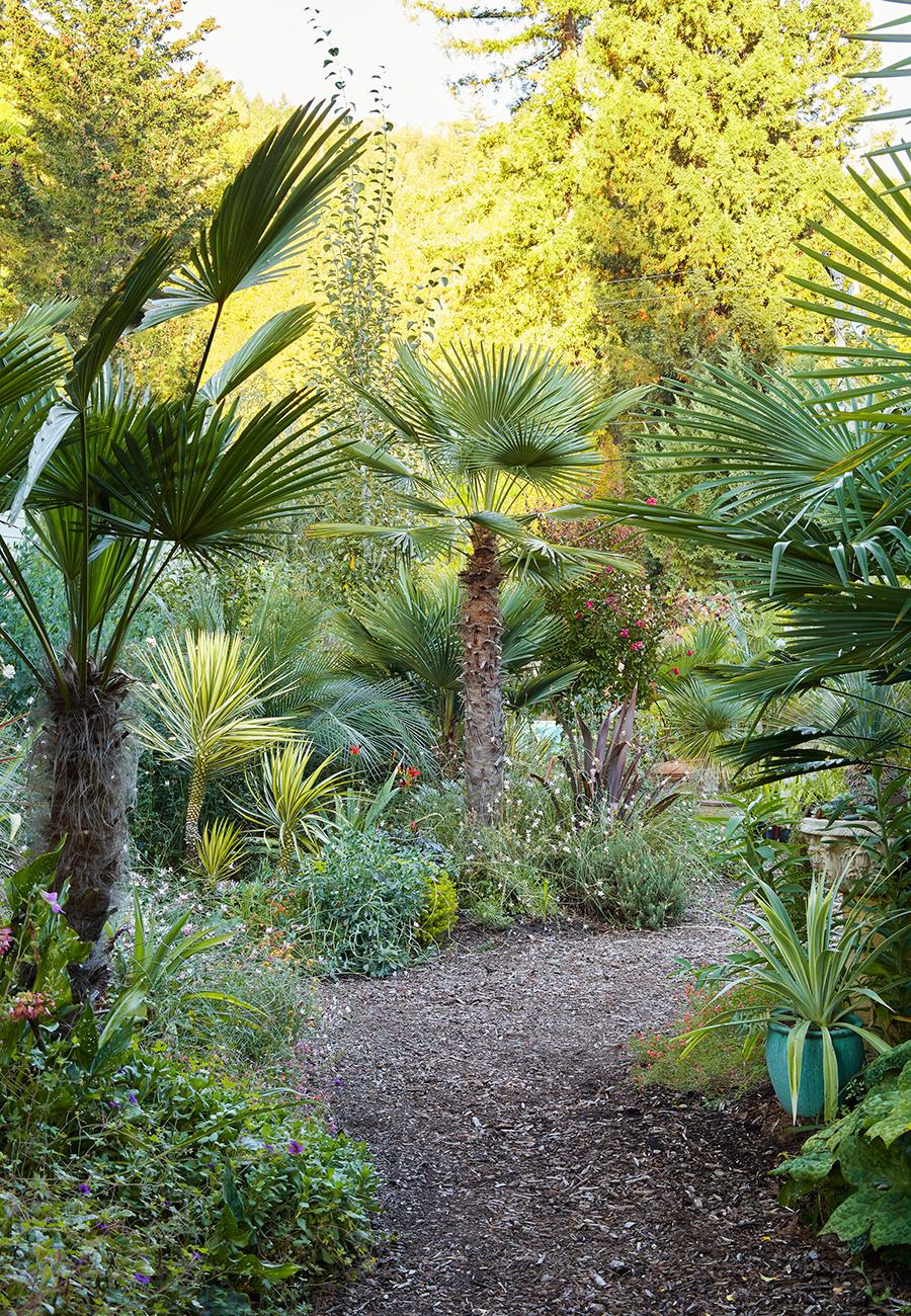 Trachycarpus fortunei  'Wagnerianus' (left) and  Trachycarpus takil  (center) (photo by  Caitlin Atkinson )