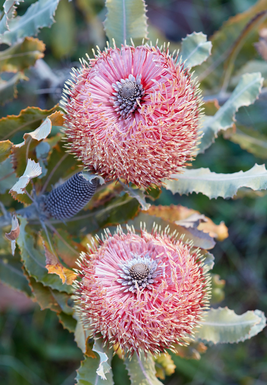 Banksia menziesii ; photo by Caitlin Atkinson