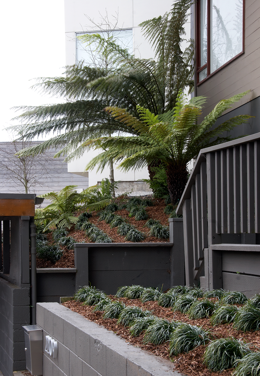 Fogbound microclimates make SF a perfect place to grow tree ferns.