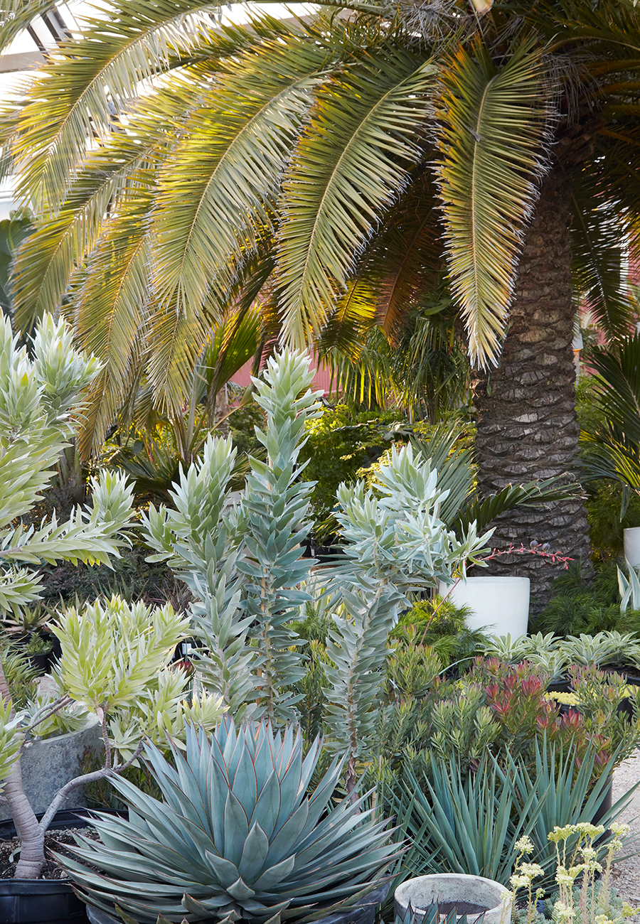 Leucadendron argenteum  (center) surrounded by friends at Flora Grubb Gardens.