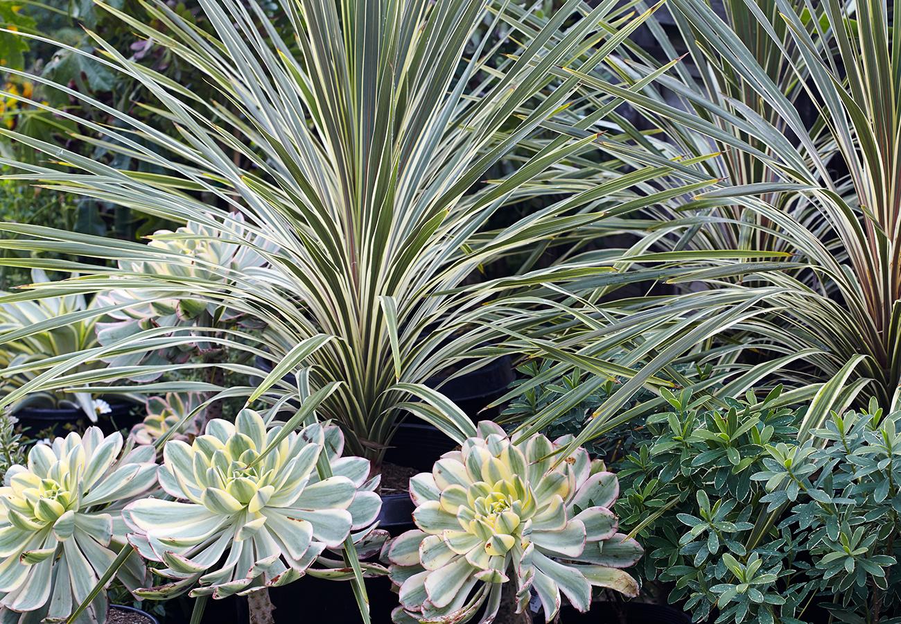 Aeonium  'Sunburst' and  Cordyline australis  'Torbay Dazzler'