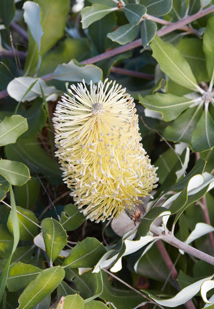 Banksia integrifolia;  photo by Caitlin Atkinson