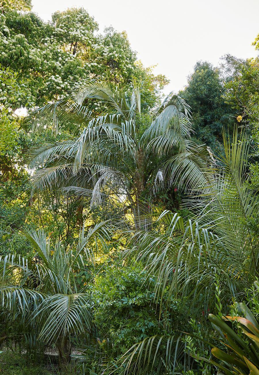Parajubaea sunkha  (right side foreground) in the San Francisco Botanical Gardens (photo by  Caitlin Atkinson )