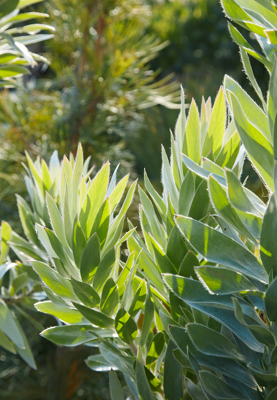 Silvery  Leucadendron argenteum  catching the sunlight is pure magic.