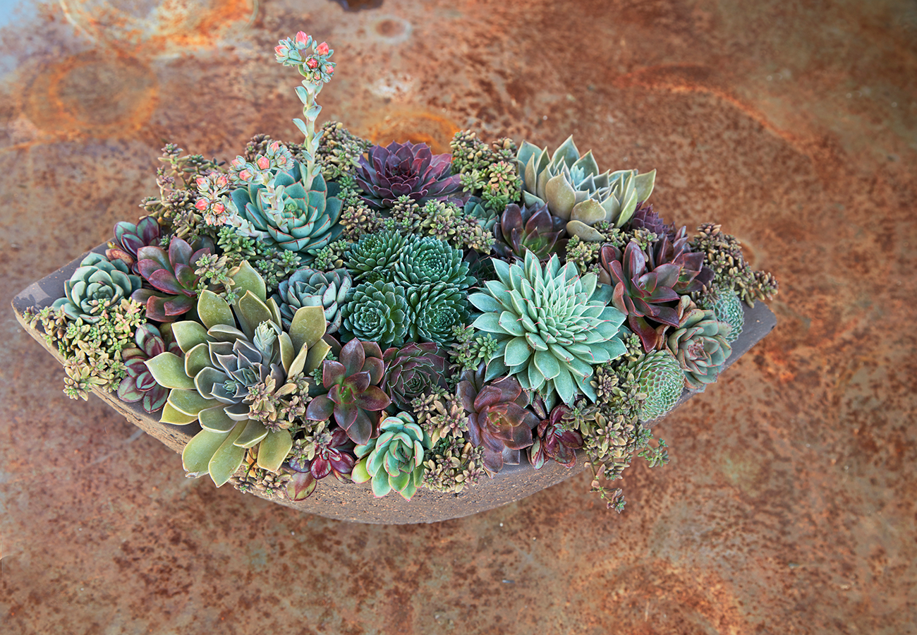 Sempervivums are excellent choices for potted compositions.