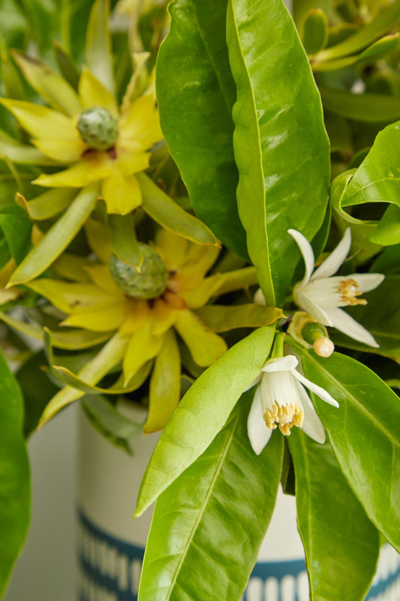 Citrus Trees For San Francisco Gardens Flora Grubb Gardens