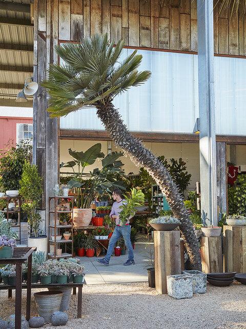 Chamerops humilis, the mediterranean fan palm, at Flora Grubb Gardens