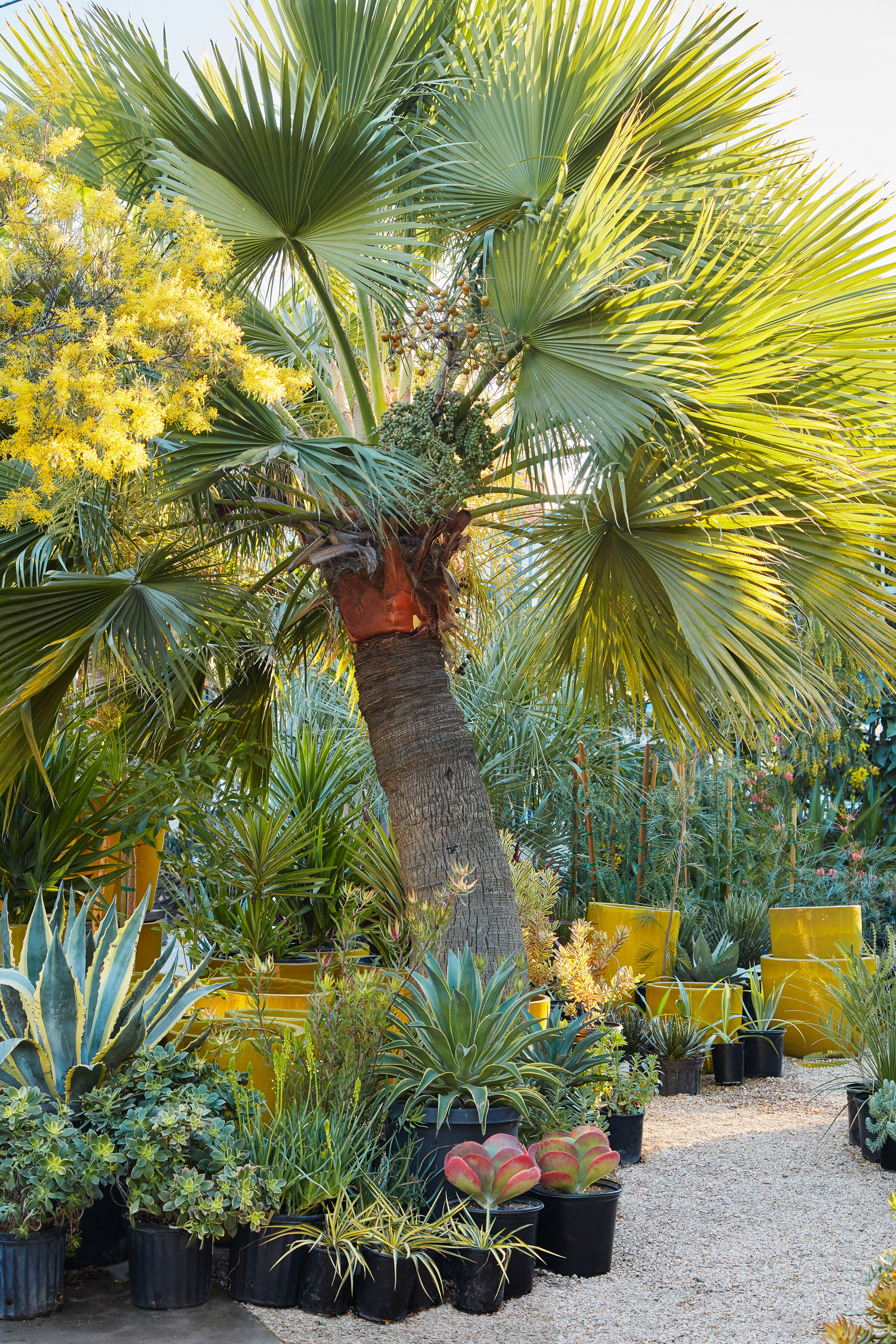 Brahea edulis, the Guadalupe palm, at Flora Grubb Gardens