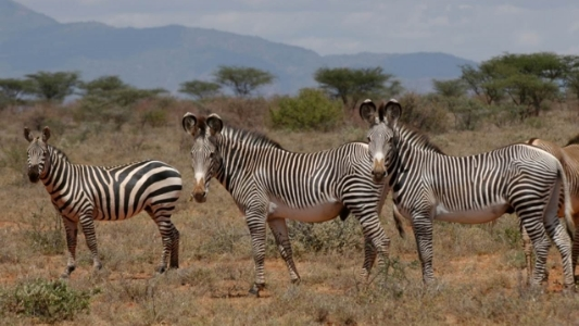Plains zebra (left) and Grevy's zebras (right)