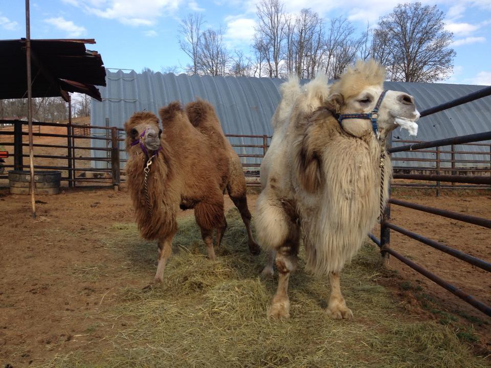 camel 2.jpg
