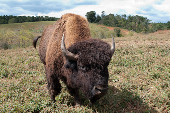 Dr: King's: Carolina Bison