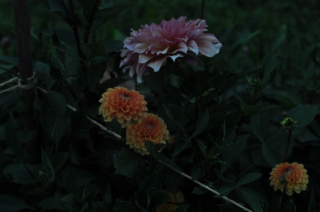 nightdahlia15.jpg