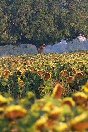 Sunflower fields @Les Passeroses