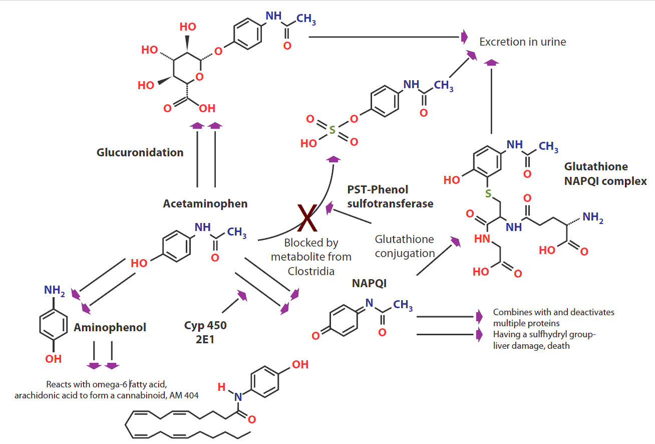 Figure 2: Metabolism of acetaminophen (paracetamol).(Click for larger view)    CYP 450, cytochrome P450; NAPQI, N-acetyl-p-benzoquinone imine; PST, phenolsulfotransferase.