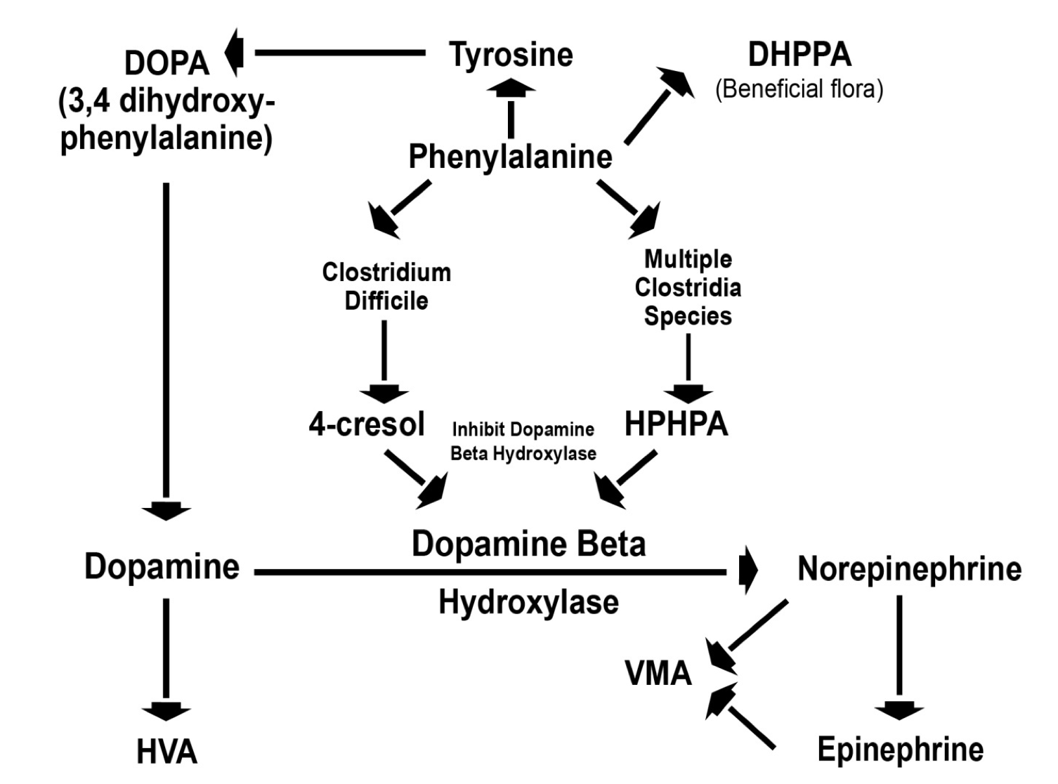Figure 2. Effect of  Clostridia  metabolites on human catecholamine metabolism. DHPPA, 4-cresol, HPHPA, HVA, and VMA are all measured in The Great Plains Laboratory organic acid test.