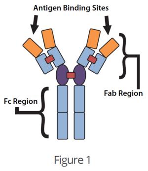 Antigen Binding Sites.png