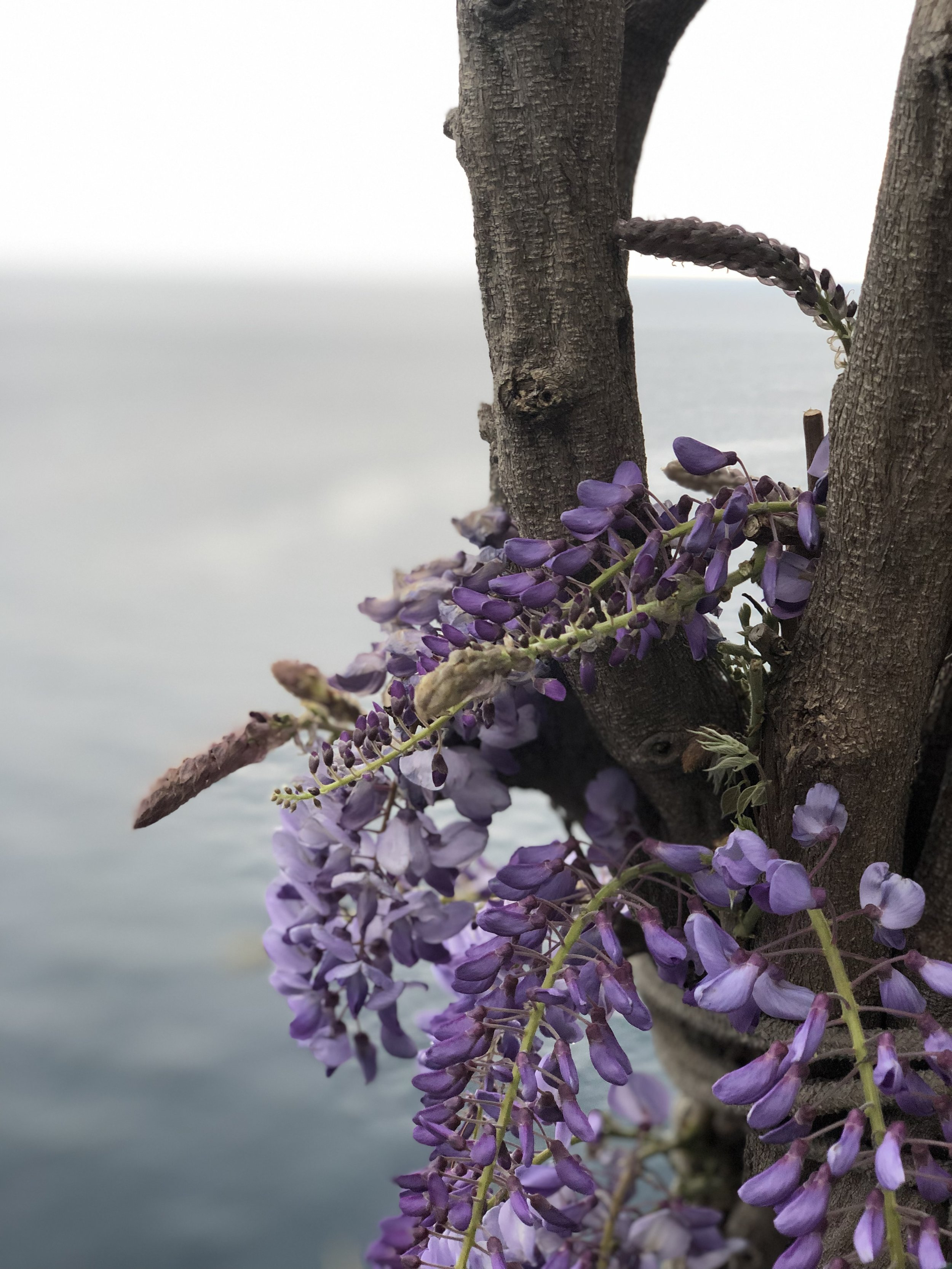 Pros and cons when visiting the Amalfi coast in springtime: - PROS:Cheaper hotelsFewer peopleLess traffic on the roadsPerfect temperatures for hikingLOADS of wisteria everywhereStill a lot nicer weather than in The UK at that time of yearCONS:A bit too coldSome things aren't open yet