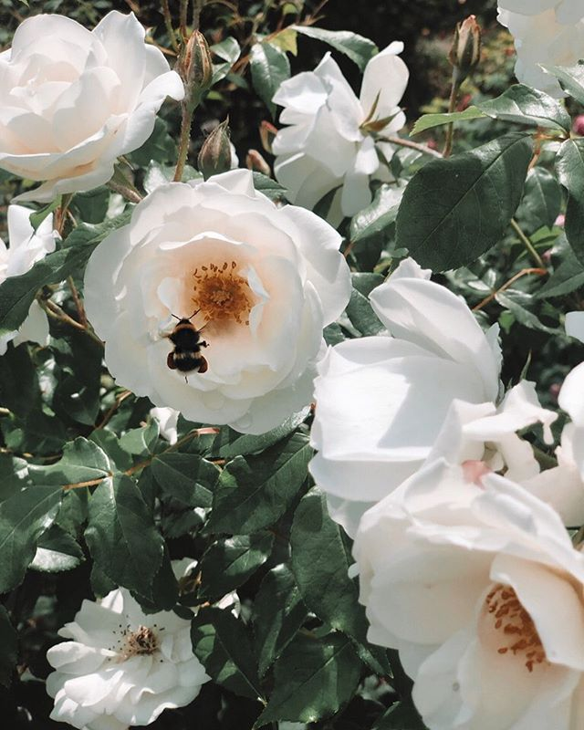 || BUMBLE BEE || appreciation of nature 🐝☀️🌹 @saraskjoldnes took this picture recently whilst she was at a wedding in the #english countryside - it took her quite a while to get THAT shot 😜 ! We loving how this picture has turned out 🖤 #blessed #nature #neverstopexploring #london #bumblebee #bee #roses #naturesgifts #summertime #summerinlondon #appreciation #todayweloveuk