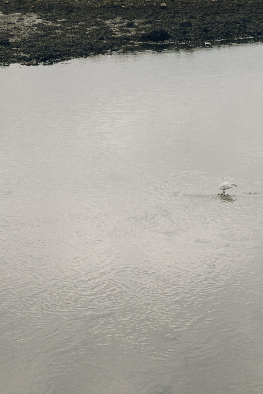Haarkon Anglesey Egret