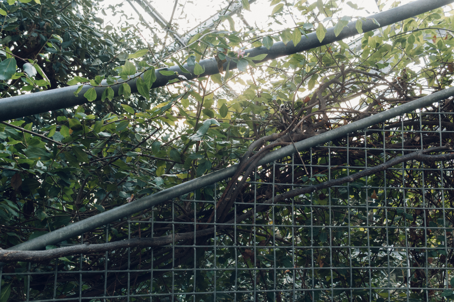 Hortus Botanicus Botanical Garden Twist Vine Tree Grow Fence
