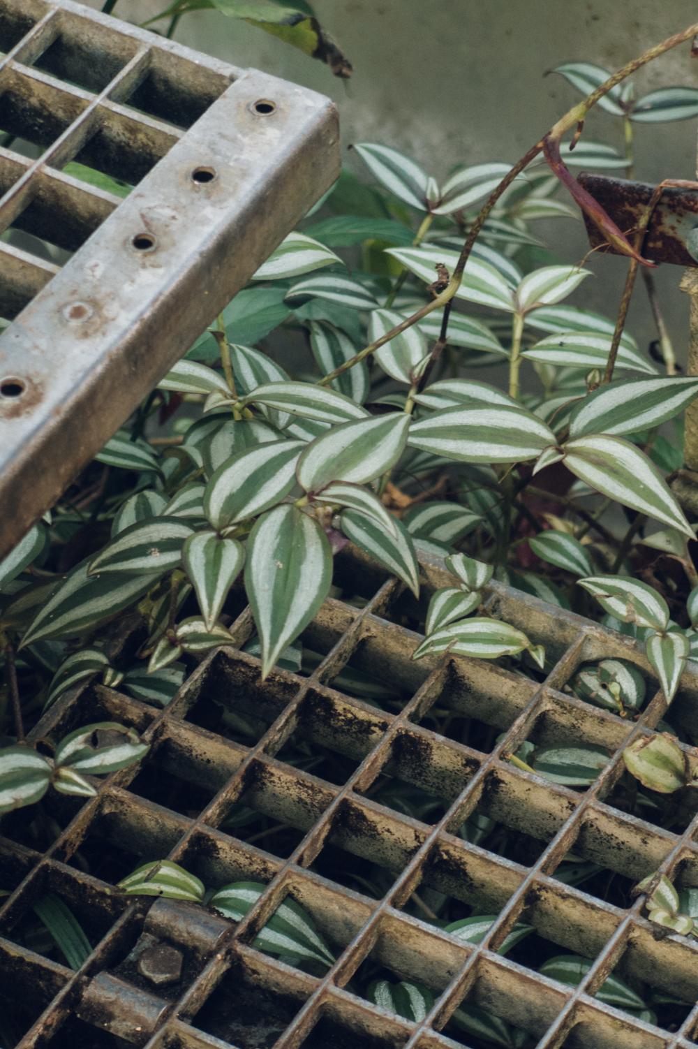 Haarkon Trailing Plant Greenery Foliage Tradescantia