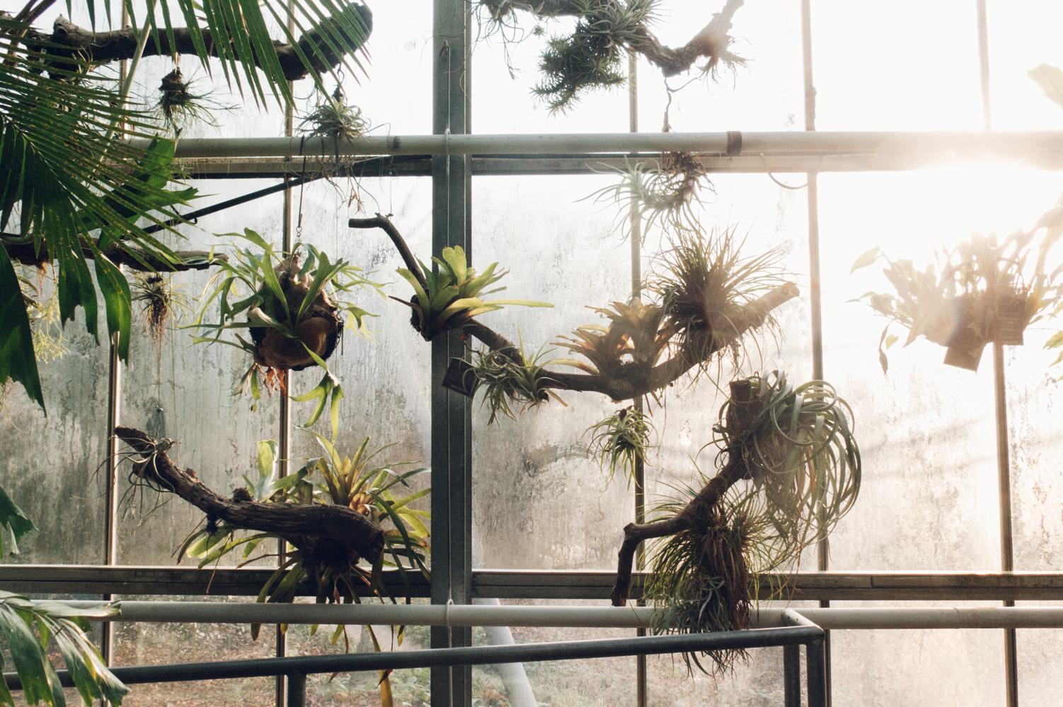 Haarkon Staghorn Fern Airplant Hanging Trailing Plant Greenhouse Harkon