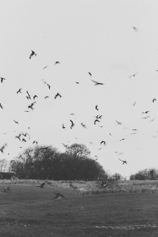 Haarkon Gigrin Farm Red Kite Feeding Bird Bird of Prey Wales Travel RSPB wings fly flight