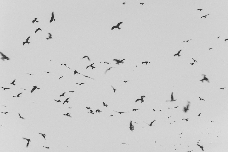 Haarkon Gigrin Farm Red Kite Feeding Bird Bird of Prey Wales Travel RSPB