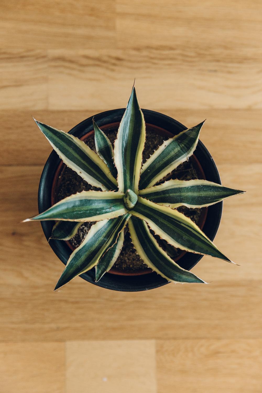 Haarkon Agave Plant Cactus Gardening