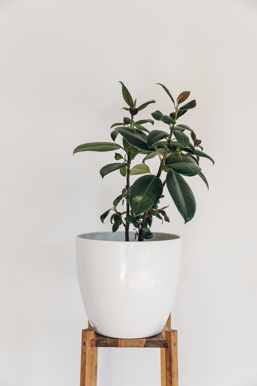 Haarkon Rubber Plant Green Nature