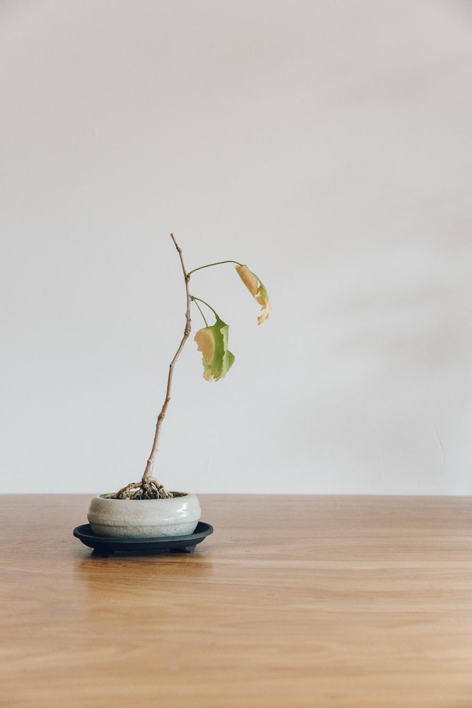 Haarkon Bonsai Gingko Baloba Tree Plants Nature